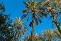 Mann, der eine Palme klettert Lizenzfreie Stockfotografie