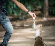 Mann, der einem langschwänzigen Affen Lebensmittel übergibt Lizenzfreie Stockfotos