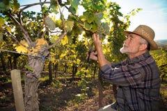 Mann, der in einem Weinberg arbeitet Lizenzfreie Stockfotografie