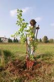 Mann, der einen neuen Baum pflanzt stockfotografie