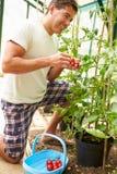 Mann, der einheimische Tomaten im Gewächshaus erntet Lizenzfreies Stockfoto