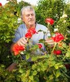 Mann, der für Rosen im Garten sich interessiert Lizenzfreie Stockfotografie