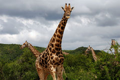 Mann der Giraffe Stockfoto