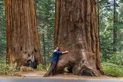 Mann, der großen Baum-Stamm des Mammutbaums umarmt Stockbilder
