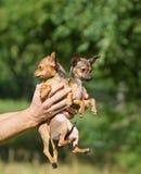 Mann, der kleinen roten Welpen zwei hält Reizende kleine Miniaturtiere Lizenzfreie Stockfotos