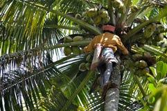 Mann, der Kokosnuss vom Kokosnussbaum zupft Lizenzfreie Stockfotografie