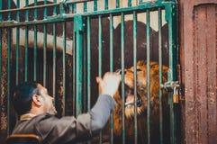 Mann, der mit Löwe im Käfig spielt Stockfotografie