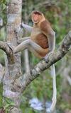 Mann der Nasenaffe sitzend auf einem Baum im wilden grünen Regenwald auf Borneo-Insel Stockfotografie