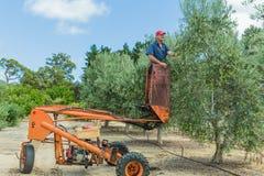 Mann, der Oliven mit motorisierter Erntemaschine erntet Lizenzfreies Stockfoto