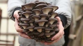 Mann, der Pilze einer große Auster hält stock footage