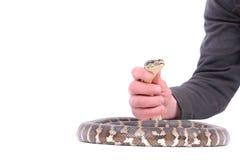 Mann, der Schlange anhält lizenzfreie stockfotos