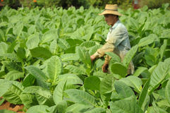 Mann, der an Tabakfeldern in Kuba arbeitet Lizenzfreie Stockfotografie