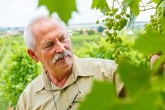 Mann, der Traubengruppen im Weinberg studiert Stockfoto