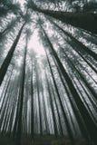 Mann, der unter hohen Bäumen im Wald steht Lizenzfreie Stockfotografie