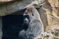 Mann des Gorillas Stockfoto
