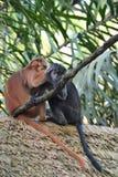Mann-gesichtige Affen Stockbild