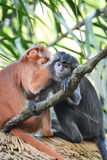 Mann-gesichtige Affen Lizenzfreies Stockbild