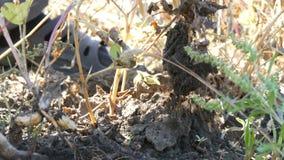 Mann gräbt Erdnüsse vom Boden stock footage