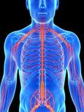 Mann hob Nervensystem hervor Stockbilder
