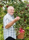Mann im Apfelgarten. lizenzfreies stockfoto
