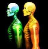 Mann-Knochen 20 Lizenzfreies Stockbild