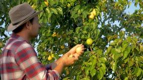 Mann-Landwirt Harvests Ripe Pears von einem Baum im Sommer in einem Garten bei Sonnenuntergang stock video footage
