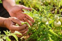 Mann-Landwirt-Tomato Field Showing-Tausendfüßer-Wanze auf Blatt Stockfoto