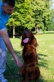 Mann mit rotem Irischem Setter auf dem Gehen in den Park im Sommer Lizenzfreie Stockbilder