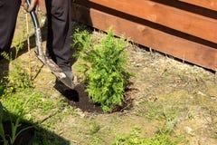 Mann pflanzt Thuja in einem Garten Lizenzfreie Stockfotos