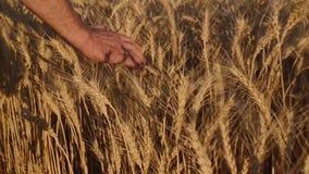 Mann ` s Hand streicht Weizen stock video footage