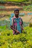 Mann sammelt Tee Lizenzfreie Stockfotos