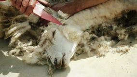 Mann schneidet ein Schaf Auszugvlies Für das Spinnrad stock video