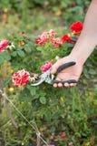Mann schnitt die Rose ab Stockfotografie