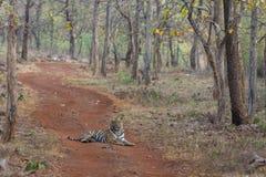 Mann Tiger Sitting mitten in Waldweg Tadoba-Tiger-Reserve Maharashtra, Indien lizenzfreie stockfotografie