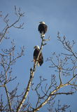 Mann und Adlerweibchen gehockt im Baum Lizenzfreie Stockfotos