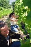 Mann und Frau in einem Weinberg stockbilder