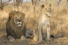 Mann und junger weiblicher afrikanischer Löwe, Südafrika Stockfotografie