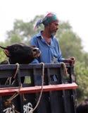 Mann und Kuh zusammen auf einem Fahrzeug lizenzfreie stockfotos