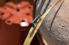 Mann und weibliche blaue Dasher-Abstreicheisen-Libelle, die auf einem Blatt verbinden Stockfotografie