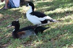 Mann und weibliche Enten mit Haube Stockbilder