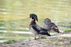 Mann und weibliche hölzerne Enten neben Wasser Lizenzfreie Stockfotografie