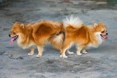 Mann und weiblicher pomeranian Hund, Anschluss des Haustieres verbinden Stockbild