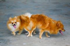 Mann und weiblicher pomeranian Hund, Anschluss des Haustieres verbinden Lizenzfreie Stockbilder