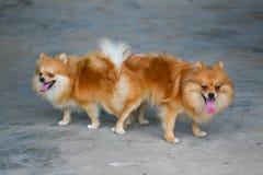Mann und weiblicher pomeranian Hund, Anschluss des Haustieres verbinden Stockfotos