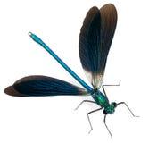 Mann versah Demoiselle, Calopteryx splendens mit einem Band stockbilder