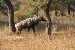 Mann von Nilgai - die größte indische Antilope Lizenzfreies Stockfoto