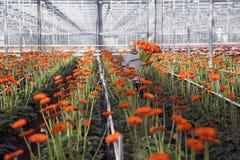 Mann wählt Blumen im Gewächshaus aus Lizenzfreies Stockfoto