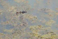 Mann/weibliche schwarze Satteltasche-Libellen, die in Tandem fliegen Lizenzfreies Stockfoto