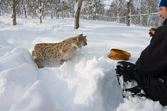 Mann zieht eurasischen Luchs mit Fleisch im Schnee im kalten Winter in Bardu, Norwegen ein Stockfotografie