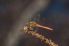 Mannallgemeines Darterlibelle Sympetrum-striolatum lizenzfreie stockfotos